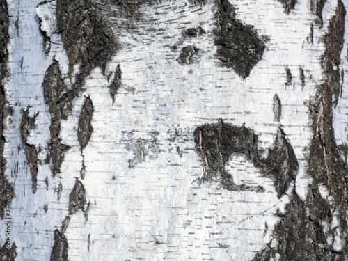 Obraz na płótnie The natural texture of birch bark birch with black stripes.