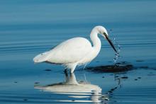 Little White Egret Feeding