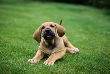 Adorable Fila Brasileiro Puppy Portrait