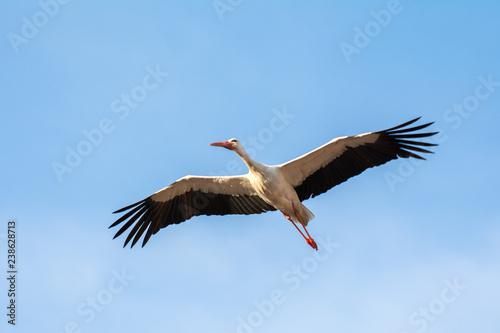 Fotografia White stork in flight, Alfaro in La Rioja, Spain