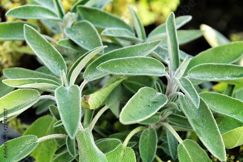 Fotografía  Beautiful Salvia Officinalis leaves texture