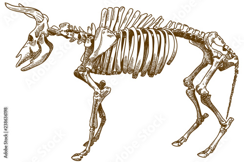 Photo  engraving illustration of aurochs