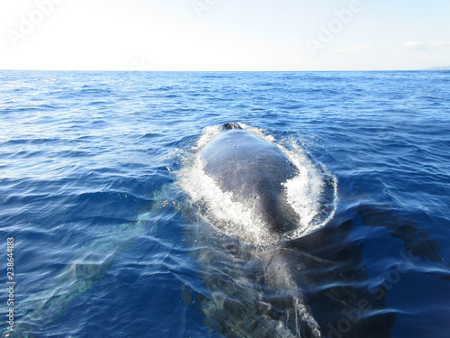 Photo  Humpback Whale Back