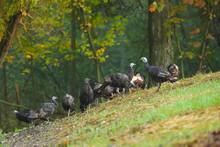 Wild Turkey (Meleagris Gallopa...