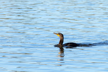 One Double Crested Cormorant Swimming In Blue Reflective Water. The Double-crested Cormorant Is Found Near Rivers And Lakes And Along The Coastline.