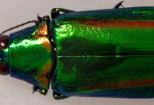 Macro Jade Green Jewel Beetle Elytra 2