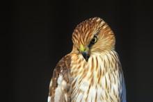 Cooper's Hawk Juvenile - Golde...
