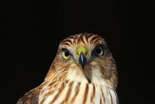 Cooper's Hawk Juvenile - Golden Eye Of Power