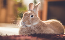 Rufus Bunny Rabbit Relaxes Nex...