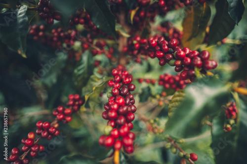 Fototapeta cherry coffee Good quality red coffee beans exuberant coffee tree