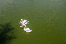 Two White Pelicans Swimming
