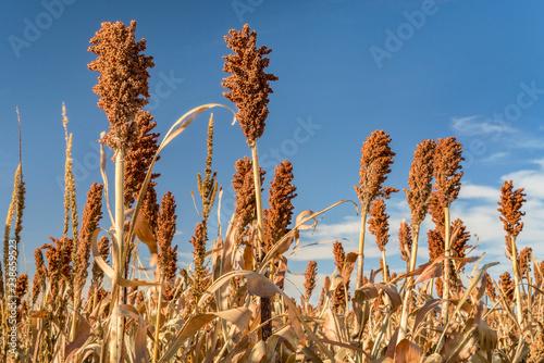 Fotografie, Obraz  sorghum field in Kansas