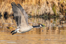 Canada Goose Flying Over Pond