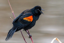 Male Red-winged Blackbird On A...