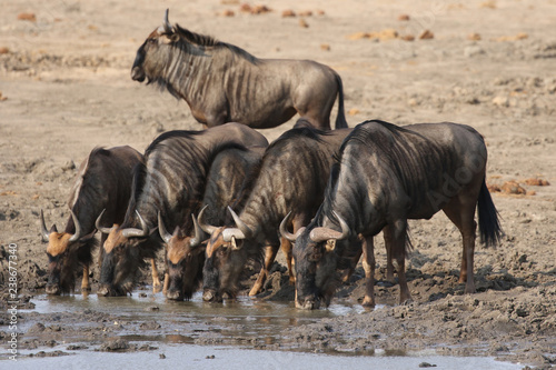 Photo  Blue Wildebeests drinking water at a waterhole in Kruger National Park, South Af