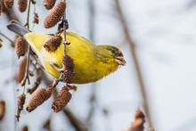 Female Lesser Goldfinch (Spinu...