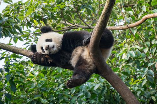 Valokuva  Panda resting in a tree