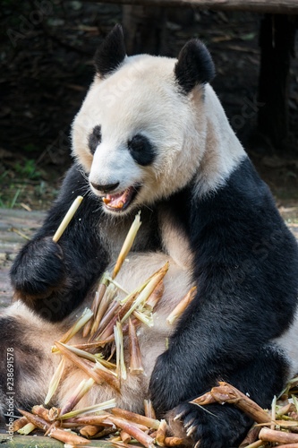 Fotografija  Close up of a giant panda eating bamboo in china