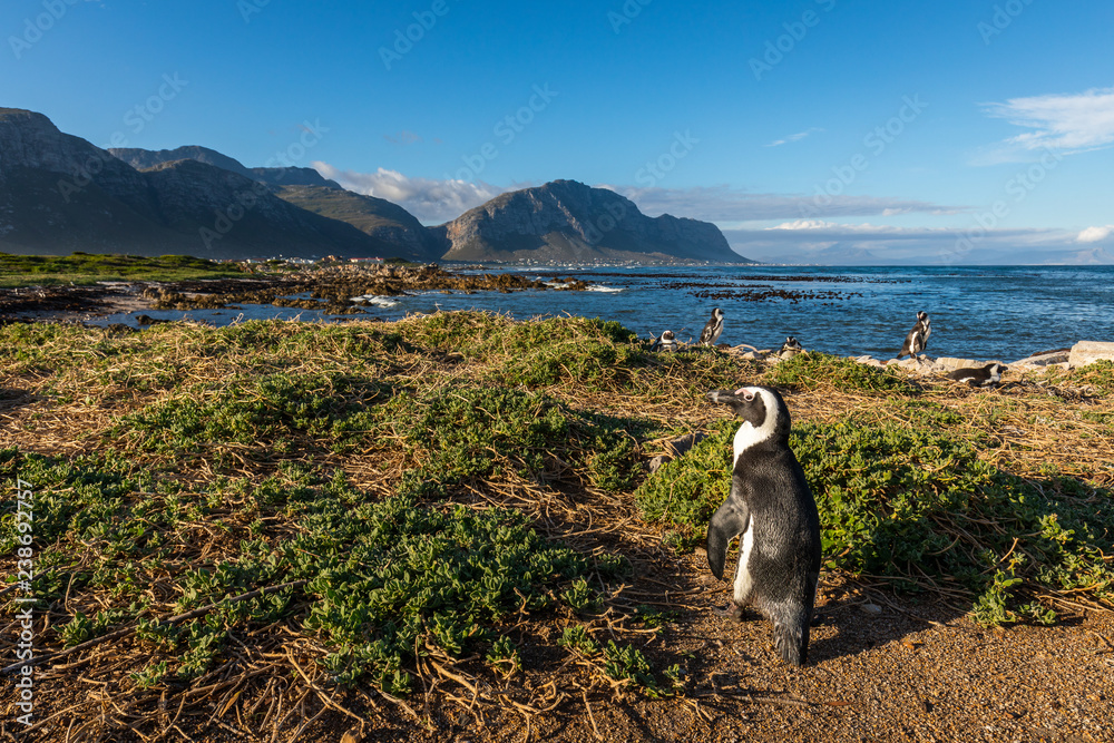 Penguin at Bettys Bay in South Africa