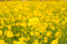 The Golden Yellow Flowers Of The Mustard Crop
