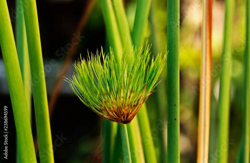 Fotografering Green papyrus sedge