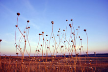 Silybum Marianum (cardus Marianus, Milk Thistle, Blessed Milkthistle, Marian Thistle, Mary Or Scotch Thistle) Dry Long Flowers Silhouettes On Background Blue Evening Sky, Hill With Yellow Grass