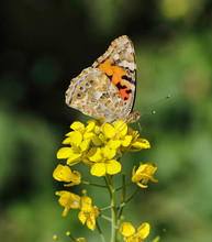Painted Lady Wing Markings