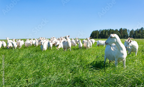 Fotografia White goats grazing on a green meadow