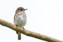 Upright Spotted Flycatcher