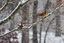 Female Cardinal Perched On A Snowy Branch