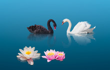 Two Swans Swiming Together In Calm Green Water - Black And White Swan