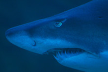 Close Up Of Ragged Tooth Shark...