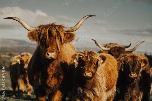 Fototapeta cattle 2018 obraz