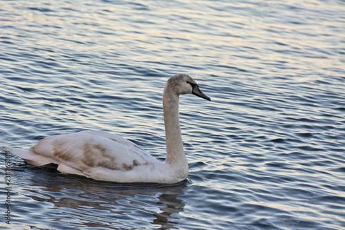 Fotografie, Obraz  One Swan
