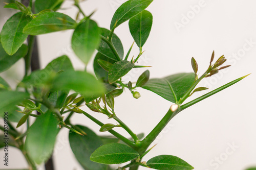 Young green growth of a hybrid citrus plant Faustrimedin