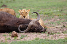 Lioness Eating From A Carcass Of A Buffalo In Sabi Sands Game Reserve In The Greater Kruger Region In South Africa