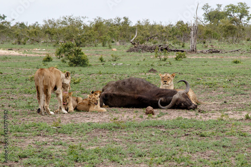Cadres-photo bureau Vache de Montagne lion family with a carcass of a Buffalo in Sabi Sands Game Reserve in the Greater Kruger Region in South Africa