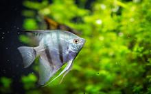 Angelfish Freshwater Aquarium Fish