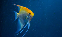 Angelfish Freshwater Aquarium ...