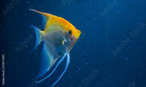 Angelfish freshwater aquarium fish Wallpaper Mural