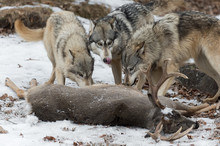 Three Grey Wolves (Canis Lupus...