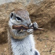 Head Of Squirrel