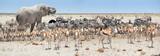 Fototapeta Zwierzęta - Panoramic african animals scenery. Huge African elephant, Loxodonta africana towering over herds of animals, grouping at waterhole, Etosha, Namibia. Wildlife photography in Namibia.
