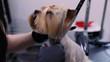 Grooming. Dog Gets Hair Cut At Pet Spa Salon Closeup