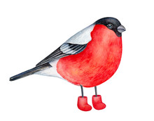 Joyful Winter Bullfinch Bird Wearing Felt Snow Boots. One Single Character, Looking At Camera, Side View. Bright Red, Gray, Black Colours. Hand Drawn Watercolour Painting On White Background, Cut Out.