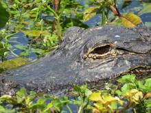 Gator In The Swamp