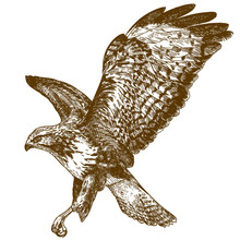 Engraving Illustration Of Buzzard