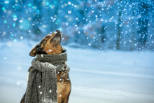 Portrait Of A Dog With A Knitted Scarf Tied Around The Neck Walking In Blizzard N The Forest. Dog Sniffing Snowflakes