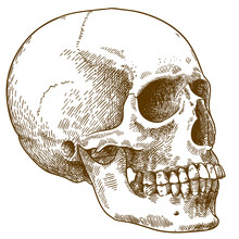 Engraving Illustration Of Human Skull