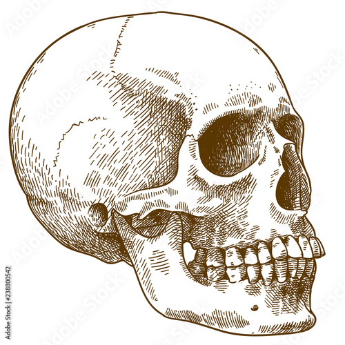 engraving illustration of human skull Canvas Print